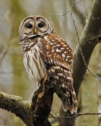 Animal  of the Week: Barred Owl-Strix varia