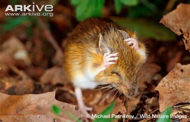 Animal of the Week: Woodland Jumping Mouse (Napaeozapus insignis)